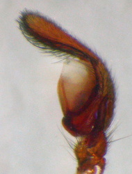 Cetonana laticeps - Palpe