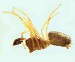 Dictyna sp