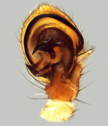 Xysticus cristatus - Palpe