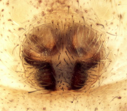 Philodromus dispar - Epigyne