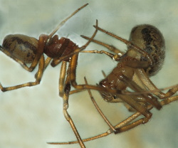 Steatoda castanea (accouplement)
