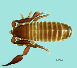 Pseudorhacochelifer canariensis
