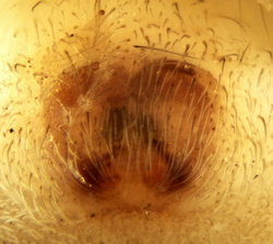 Clubiona lutescens - Epigyne
