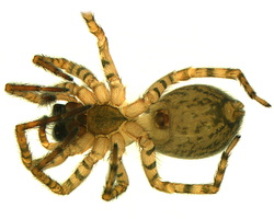 Amaurobius fenestralis