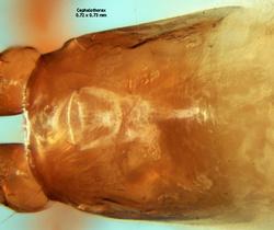 Pseudoscorpions / Neobisiidae / Acanthocreagris lucifuga   Les