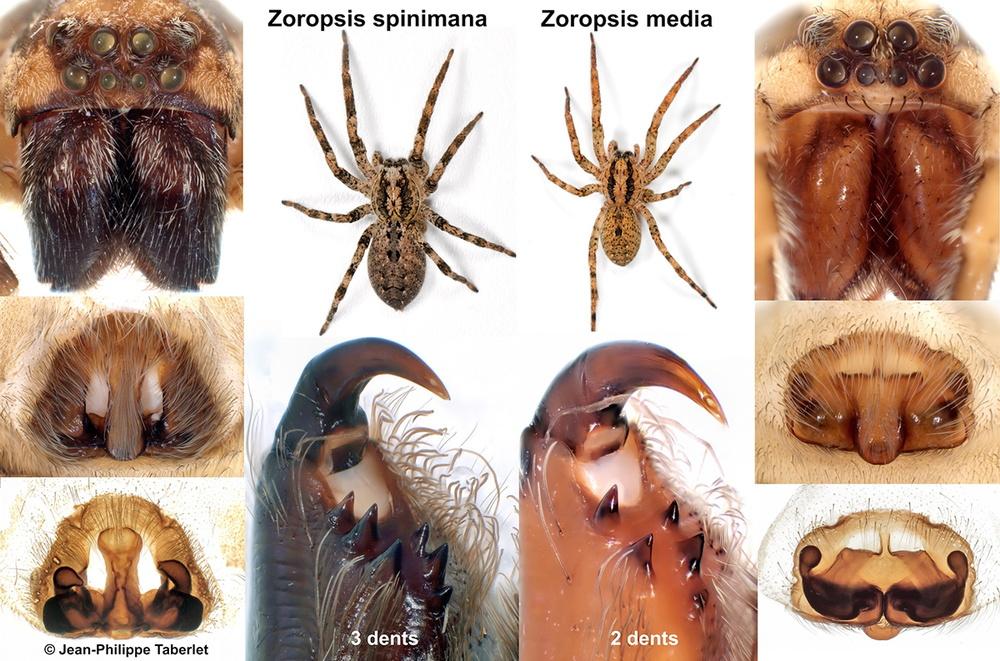 Zoropsis comp JP Taberlet.jpg
