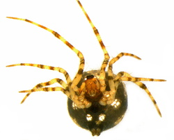 Theridion hannoniae