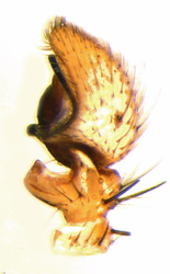 Xysticus lanio - Palpe