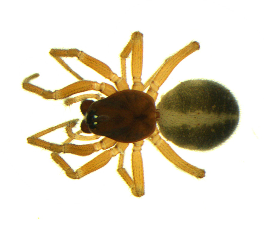 111024029 vd 2.30mm Gnathonarium dentatum F.jpg