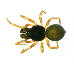 Cnephalocotes obscurus