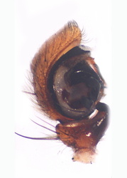 Xysticus kochi - Palpe1