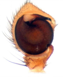 Xysticus ninnii - Palpe