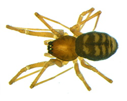 Bathyphantes gracilis