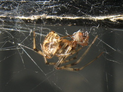 Parasteatoda tepidariorum
