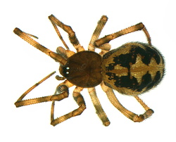 Steatoda triangulosa