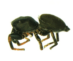 Heliophanus flavipes