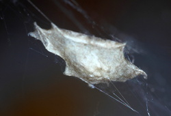 Uloborus plumipes (cocon)