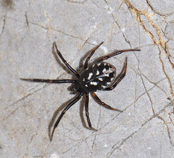 Steatoda incomposita