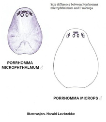 Porrhomma microphthalmum vs microps