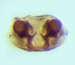 Mecopisthes sp - Epigyne