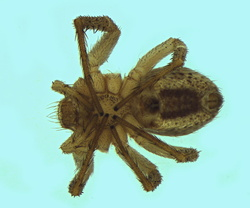 Philodromus dispar