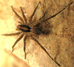 Pardosa occidentalis