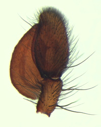 Clubiona corticalis - Palpe