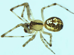 Theridion varians