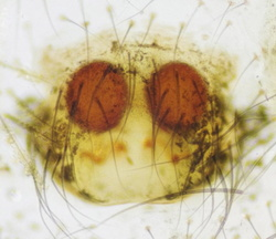 Theridion betteni - Epigyne
