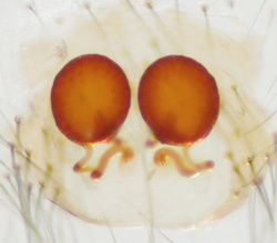 Theridion betteni - Vulve