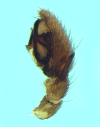 Trachyzelotes fuscipes - Palpe