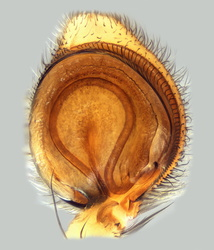 Philodromus dispar - Palpe