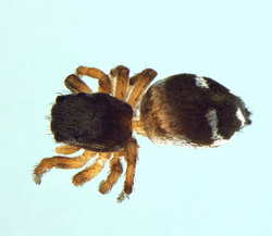 Heliophanus decoratus