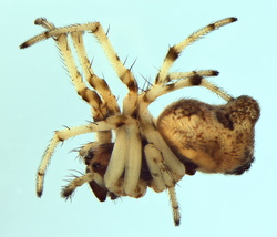 Cyclosa algerica
