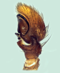 Xysticus cor - Palpe