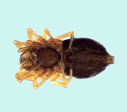Typhochrestus digitatus