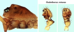 Oedothorax retusus (montage)