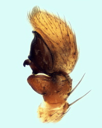 Xysticus ulmi - Palpe