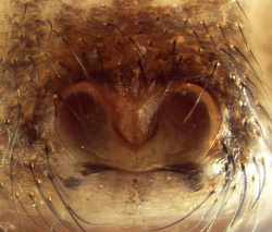 Steatoda incomposita - Epigyne
