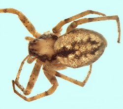 Thanatus fabricii