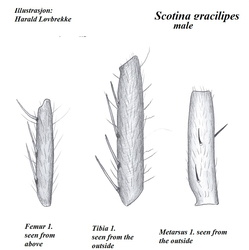 Scotina gracilipes (Patte I)