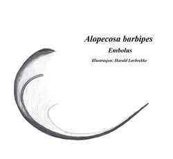 Alopecosa barbipes - Palpe