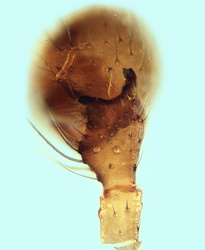 Thyreosthenius parasiticus - Palpe