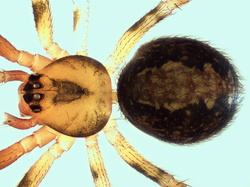 Theridion familiare
