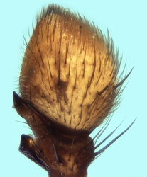 Xysticus luctuosus - Palpe