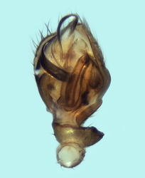 Ceratinella brevis - Palpe