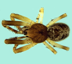Cyclosa maderiana