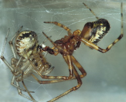 Theridion pictum (accouplement)