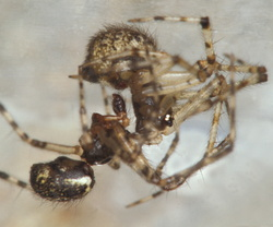 Theridion betteni (accouplement)