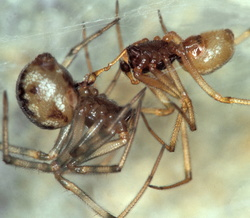 Steatoda triangulosa (accouplement)